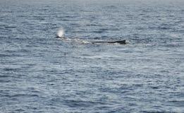 Respirez de la baleine le CAM avec sa mère dans le nea de l'Océan Indien images stock