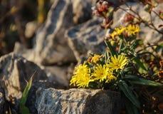 Resplandor amarillo de las flores en la roca fotografía de archivo