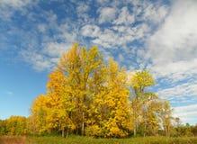 Resplandor de árboles amarillos en un seto durante otoño contra el cielo azul Imagenes de archivo