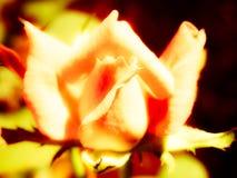 Resplandor de Rose Fotografía de archivo libre de regalías