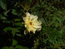 Resplandor de Sun en Rose fotografía de archivo