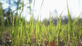 Resplandor de Sun que brilla en el roc?o en cierre de la hierba verde para arriba Descensos hermosos del agua en cierre de la hie almacen de video
