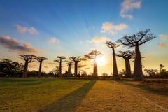 Resplandor solar del baobab Imágenes de archivo libres de regalías