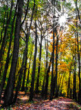 Resplandor solar a través de las hojas de otoño Imagenes de archivo