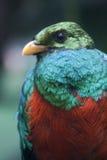 Resplendant Quetzal Stockbild