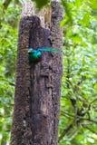 Resplendent quetzal Costa Rica - Pharomachrus mocinno - Obraz Stock