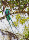 Resplendent Quetzal Stock Photo