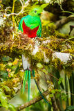 Resplendent Quetzal Stock Images