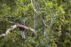 Resplendent Quetzal - Pharomachrus mocinno stock photo