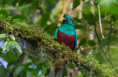 Resplendent Quetzal Stock Photos