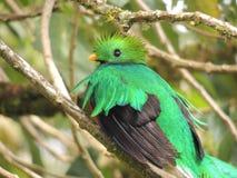 Resplendent Quetzal Pharomachrus mocinno in Cerro de la Muerte, Costa Rica royalty free stock image