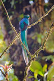Resplendent Quetzal Stock Photo