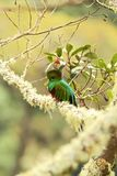 Resplendent Quetzal, Pharomachrus mocinno, Savegre in Costa Rica, with green forest in background. Magnificent sacred green and re. D bird. Beutiful and stock images
