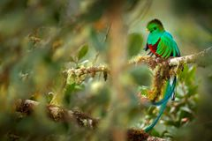Resplendent Quetzal, Savegre in Costa Rica with green forest in background. Magnificent sacred green and red bird. Detail portrait. Of beautiful tropic animal royalty free stock image