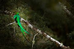 Resplendent Quetzal, Savegre in Costa Rica with green forest in background. Magnificent sacred green and red bird. Detail portrait. Of beautiful tropic animal royalty free stock photo