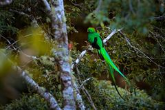 Resplendent Quetzal, Savegre in Costa Rica with green forest in background. Magnificent sacred green and red bird. Detail portrait. Of beautiful tropic animal royalty free stock images