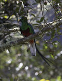 Resplendent Quetzal (Pharomachrus mocinno) Royalty Free Stock Photography