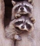 Resplendent Raccoons Stock Photos