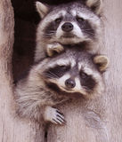 Resplendent Raccoons Stock Photos