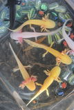 Ressemble au dragon des salamandres Photographie stock libre de droits