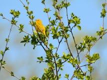 Ressort chantant la fauvette jaune Photo stock