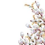 Ressort, chat-saule de floraison, aquarelle Image libre de droits