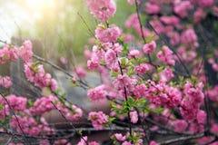 Ressort Cherry Blossom Photo libre de droits
