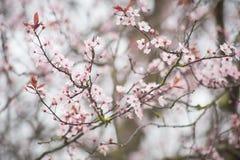 Ressort Cherry Blossom Images libres de droits