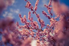 Ressort Cherry Blossoms Photographie stock