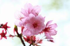 Ressort Cherry Blossoms Photographie stock