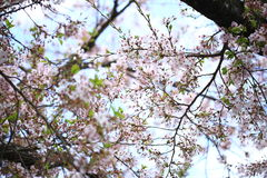 Ressort Cherry Blossoms Images libres de droits