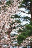 Ressort Cherry Blossoms Photo stock