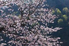 Ressort Cherry Blossoms Photographie stock libre de droits