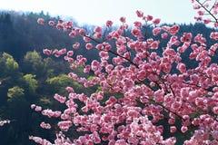 Ressort Cherry Blossoms Image stock