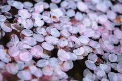 Ressort Cherry Blossoms Photos libres de droits