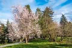 Ressort Cherry Blossoms blanc 4 image stock