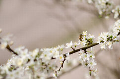 Ressort Cherry Flowers photos libres de droits