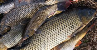 Ressort de fond de carpe de poissons de crochet photographie stock libre de droits