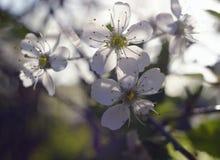 ressort de jardin de lumière du soleil de fleurs de cerisier de branche de fleur Photographie stock