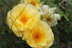 Ressort de roses jaunes en avant Photographie stock