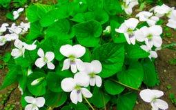 Ressort de violettes blanches Images stock