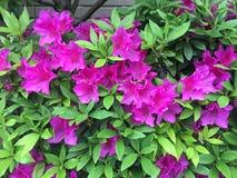 Ressort en fleur Photographie stock libre de droits