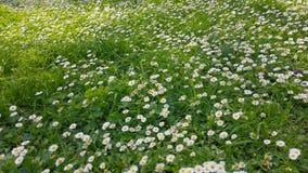 Ressort enchantant - herbe et marguerites fraîches 02 banque de vidéos