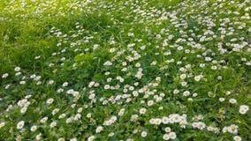 Ressort enchantant - herbe et marguerites fraîches 01 clips vidéos