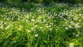 Ressort enchantant - herbe et marguerites fraîches 05 banque de vidéos