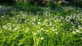 Ressort enchantant - herbe et marguerites fraîches 06 clips vidéos
