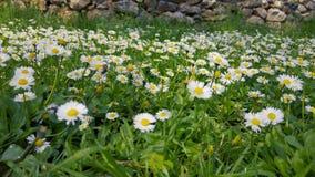 Ressort enchantant - herbe et marguerites fraîches 03 clips vidéos