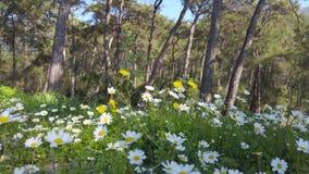 Ressort enchantant - marguerites et pissenlit dans la forêt 13 banque de vidéos