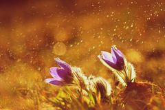 Ressort et fleur de printemps sous la pluie Belles fleurs de floraison sur un pré en nature Fleur et soleil de Pasque avec un nat Photographie stock