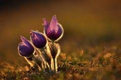 Ressort et printemps Belles fleurs de floraison sur un pré en nature Fleur et soleil de Pasque avec un fond coloré naturel Photographie stock libre de droits